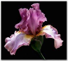 purple - Iris