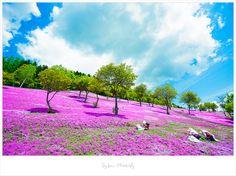 Japan, Hokaido [大阪北海道東京之旅] 滝上公園芝桜,粉紅花海地毯