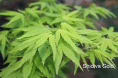 Japanese maple Shidiva Gold