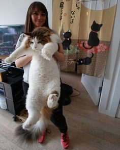 Samson the cat has quickly become famous as New York's biggest feline — at 28 pounds and 4 feet long. The Maine coon even has a meow-nager. Gatos Maine Coon, Chat Maine Coon, Fat Cats, Cats And Kittens, Kittens Cutest, Cat And Dog Memes, Grand Chat, Domestic Cat, Funny Animal Pictures