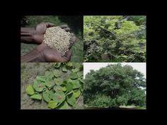 Medicinal Rice B4 Formulations for Xanthium Allergy: Pankaj Oudhia's Med...