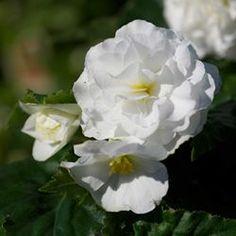 Tuberous Begonia -- Non-Stop White (annual)