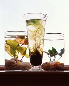 Small freshwater gardens are fun to create and simple to care for. And all you need are a few floating or submerged greens in a vintage aquarium, an apothecary jar, or a sleek glass cylinder. You'll find appropriate containers at antiques shops, garden centers, or in your own cupboards. Aquarium suppliers and specialty nurseries sell a variety of suitable plants.