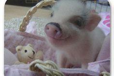 Cute pot- belly pig