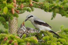 Northern shrike by Matthew Studebaker