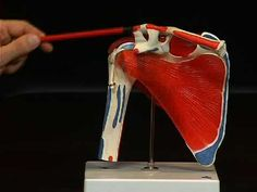 """The Scientific® Anatomy Video """"Shoulder Joint"""" vividly describes the functional and topographical anatomy of the shoulder joint. Massage Tools, Massage Therapy, Shoulder Anatomy, Love Massage, Human Anatomy For Artists, Shoulder Joint, Medical Facts, Back Muscles, Anatomy And Physiology"""