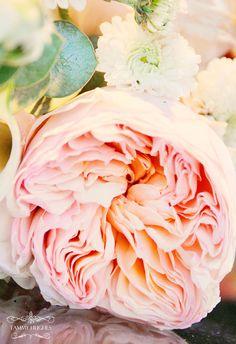 david austen rose...