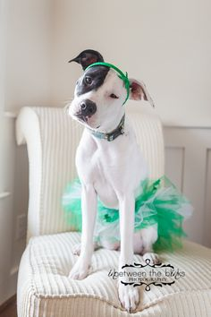 Lily the #pitbull celebrates #StPatricksDay; dog costumes, pet photography