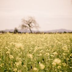 mustard field and oak.  sonoma county. Home sweet home!
