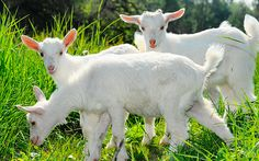 #HealthBenefits of #GoatMilk