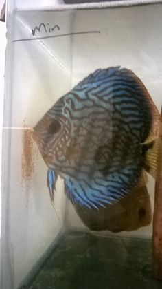 Royal Blue with eggs Discus Fish, Tropical Fish, Royal Blue, Angels, Eggs, Angel, Exotic Fish, Egg, Egg As Food