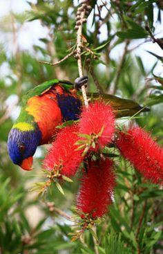 Rainbow Lorikeet in Angourie, Australia