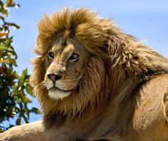 Studies show that the most handsome lions do not use separate personal care products on their upper and lower manes.  So why do we treat our hair and beard so differently?