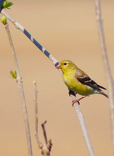 """500px / Photo """"American Goldfinch"""" by cheryl smith~cl"""