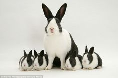 This perfectly marked half black and half white rabbit was surrounded by four of its babie...