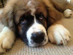 I think I found the next dog I want...Saint Bernard/Newfoundland mix. Soooo cute!