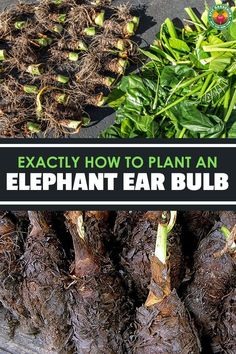 Excellent Gardening Ideas On Your Utilized Espresso Grounds Elephant Ear Bulbs Are The Easiest Way To Grow Colocasias Or Alocasias From Scratch. Figure out How To Plant Them In Our In-Depth Guide. Elephant Ear Plant Indoor, Elephant Ear Bulbs, Elephant Plant, Elephant Ears, Shade Garden, Garden Plants, House Plants, Pond Plants, Veg Garden