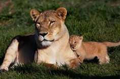 Baby lion cub | In the lion's den at Monarto | adelaidenow