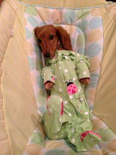 Time for night night. #dachshund #teckel #doxie