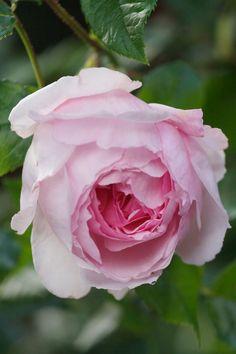 The Wedgwood Rose, developed to celebrate the 250th anniversary #wedgwoodau