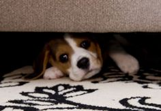 Help! Haha Roxie does this gets under the couch can't figure out how to get out