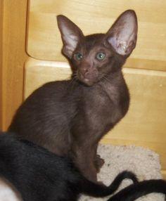 Solid chocolate Oriental kitten http://en.wikipedia.org/wiki/Oriental_Shorthair