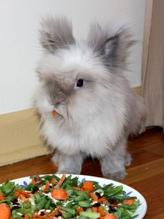 This is a Lionhead bunny - they r SO adorable! This is a Lionhead bunny - they r SO adorable! Animals And Pets, Baby Animals, Cute Animals, Small Animals, Lionhead Rabbit, Lionhead Bunnies, Bunny Rabbits, Benny And Joon, Little Bunny Foo Foo