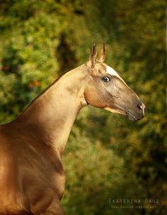 The Akhal-Teke horse breed is known for the metallic sheen in their coats. Photo by: Ekaterina Druz