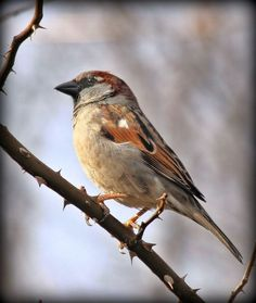 House Sparrow - we have a pair nesting on our front porch. House Sparrow, Bird Book, Loveless, Sparrows, Happy Animals, Bird Feathers, Idaho, Beautiful World, Costa Rica