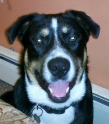 TONKA is an adoptable Husky Dog in Waretown, NJ. This is Tonka, Tonka is a male 10 month old Husky/Shep mix, he is absolutely beautiful, he almost looks like a swiss mountain dog, he is very friendly ...