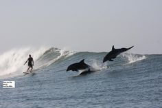 Bottlenose dolphins seem to enjoy surfing as much as their human counterparts
