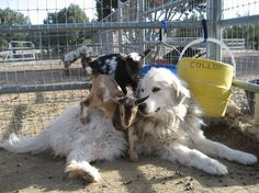 These baby goats are safe.  Believe me there is nothing getting to them with a Great Pyrenees guarding them.