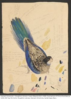 Author : Lear, Edward, Title : Edward Lear sketches of parrots relating to Illustrations of the family of Psittacidae, or parrots ca. Harvard Library, Edward Lear, Nature Illustration, Painted Boxes, Flora And Fauna, Parrots, Brain, Places To Visit, Sketches