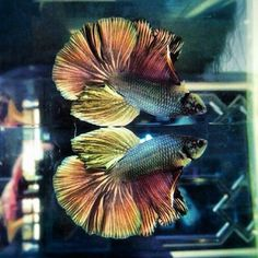 "Love the colors on this ""Giant"" Halfmoon betta #fish"