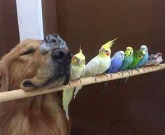 Bob, il golden retriever sedotto da un criceto e otto pappagallini - Repubblica.it Mobile
