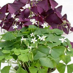 Oxalis....stores start calling them shamrocks around St. Patricks Day.