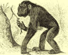 Koolookamba- African cryptid: a hybrid of chimpanzees and gorillas. It is said to be flatter faced, larger skilled, and more bipedal than a chimp.