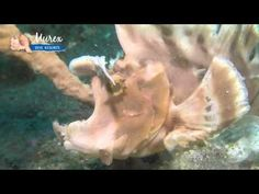 Muck Diving Manado Bay - Murex Dive Resorts - YouTube
