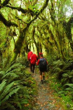 Fangornian forests, walking the Milford Track
