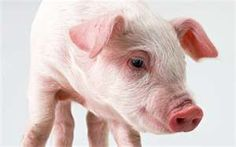 How to get a pig to eat more & gain weight? Here are 5 steps. Follow me step by step.