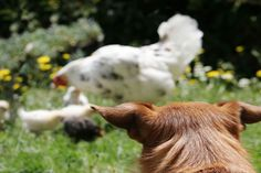 Learn how to train your dog to herd chickens using long lead, basic commands, and dog whistle methods. Dog Training Courses, Dog Training Tips, Dog Minding, Furry Tails, Dog Whisperer, Puppy Day, Dog Whistle, Easiest Dogs To Train, Dog Information