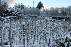 Plantas bien endurecidas por el invierno. Los que están recubiertos de nieve son abedules. www.plantamus.es