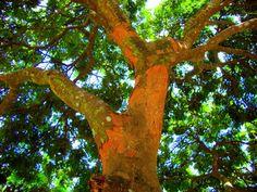 Pau-brasil é o nome genérico que se atribui a várias espécies de árvores do gênero Caesalpinia presentes na região da Mata Atlântica brasileira. O nome de nosso país teve origem nesta árvore. Saiba mais sobre ela e alguns de seus segredos medicinais vendo essa matéria do Blog Mãe Terra.  Link: http://maeterrra.blogspot.com.br/2012/02/pau-brasil-um-grande-aliado-na-luta.html