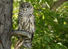 Northern spotted owls in some California counties are succumbing to rat poison used by marijuana growers.