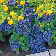 Scentropia Dark Blue Heliotrope One Of The Best Heliotropes For Fragrance And In Summer Flowerspretty