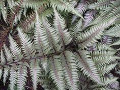 Venero Gardens -- Fern Athyrium niponicum 'Pictum'