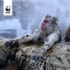 Bei Affenkälte ab ins Wasser! Affen sind Meister der Imitation - wie diese Japanmakaken in einer heißen Quelle gelandet sind, lest ihr hier: www.wwf.de/bild-des-tages