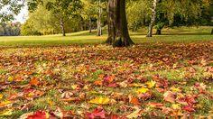 Laub im Herbst-Mit zunehmender Kälte nimmt die Wasseraufnahme über die Wurzeln des Baumes ab. Beim ersten Frost kommt sie sogar ganz zum Stillstand. Müsste der Baum im Winter auch die Blätter mit Wasser versorgen, würde er verdursten. Überlebensstrategie  Das Abwerfen der Blätter ist also eine geschickte Überlebensstrategie: Durch eine Korkschicht am Schaft der Blätter werden die Verbindungen zum Ast gekappt. Auch das Chlorophyll in den Blättern wird abgebaut. Die roten und gelben…