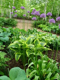 Hostas look wonderful with aliums. (My photo.)