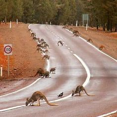 Australia Kangaroos come out to drink water on the road after heavy rain. Courtesy of Bookabee Australia Western Australia, Australia Travel, South Australia, Australia Visa, Wyoming, Australia Kangaroo, Australian Photography, Australian Animals, Australian Desert